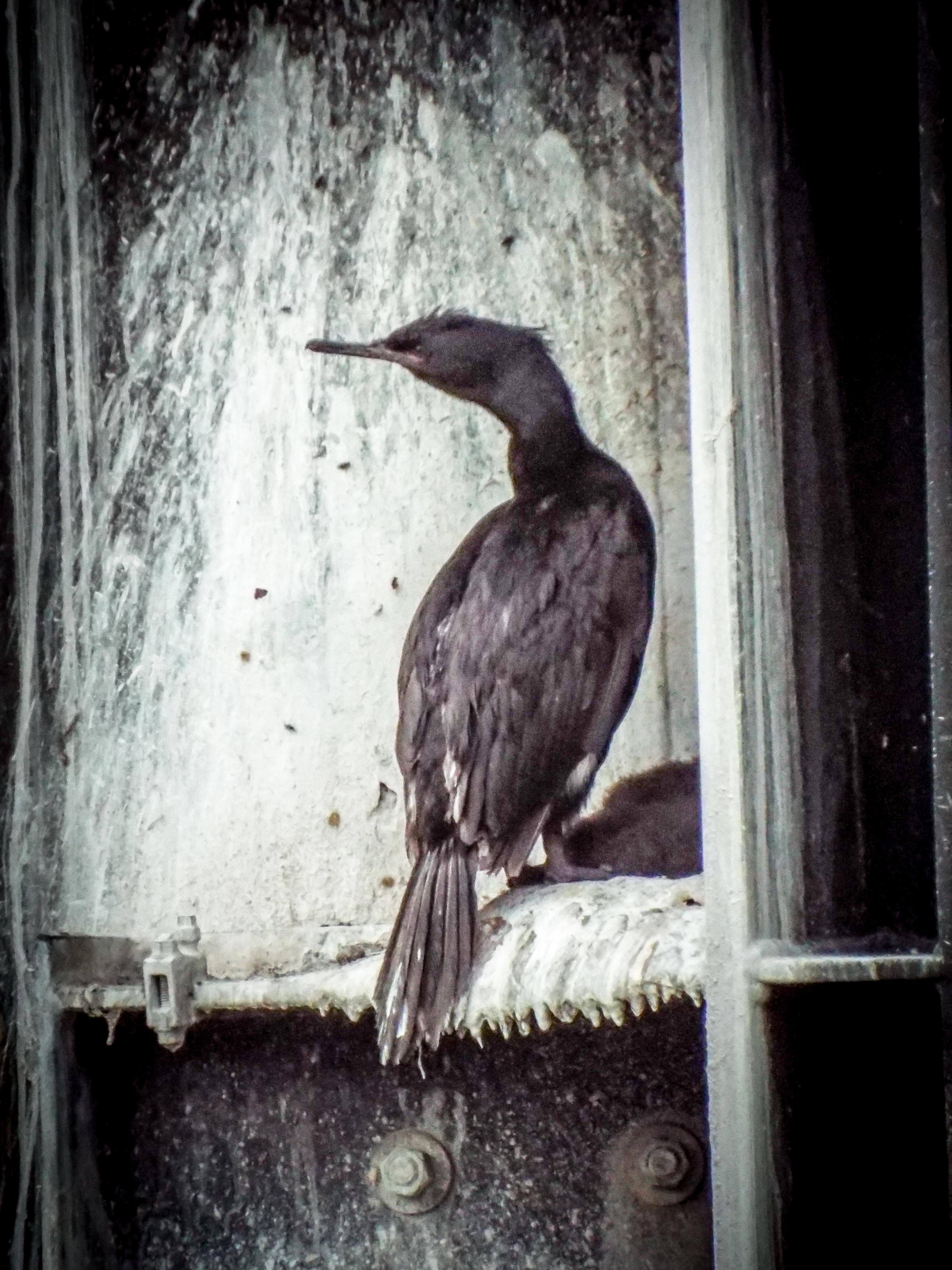Cormorant 2015