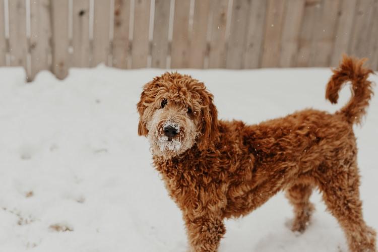 Кафеаво куче игра со снегот во дворот