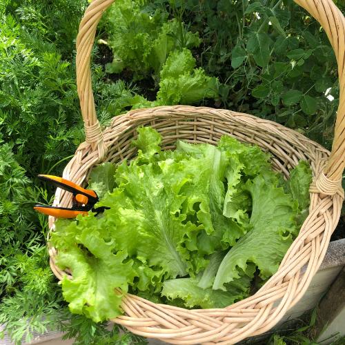 Lettuce is an easy vegetables to grow in Alberta, Canada in your backyard zone 3 garden.