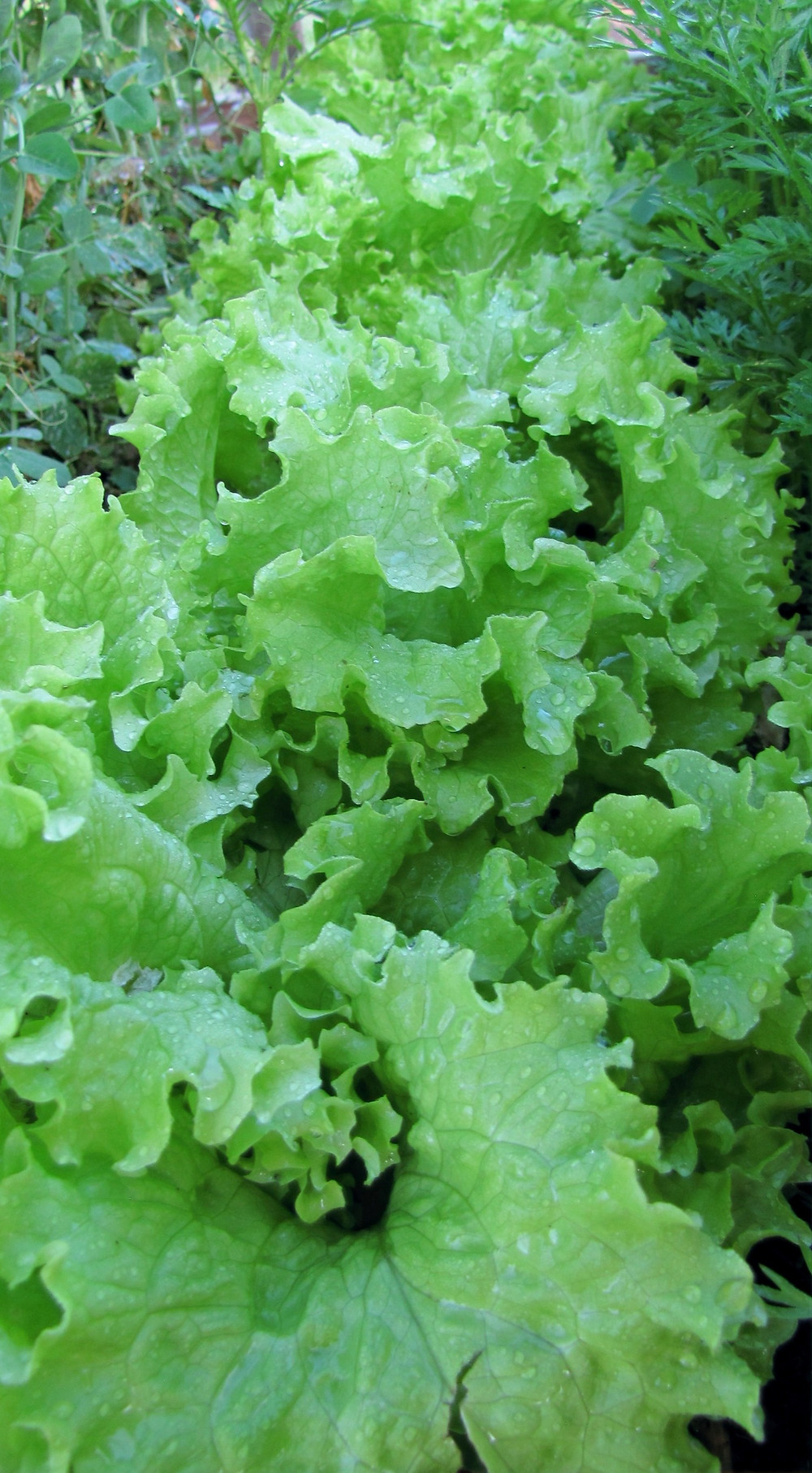 Buttercrunch garden lettuce being grown in a raised bed backyard garden in growing zone 3 of Alberta, Canada.