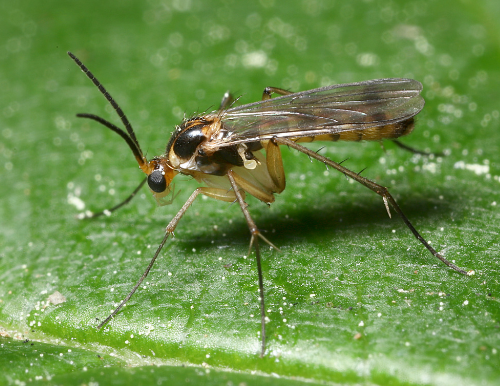 8 Natural Ways to Get Rid of Fungus Gnats