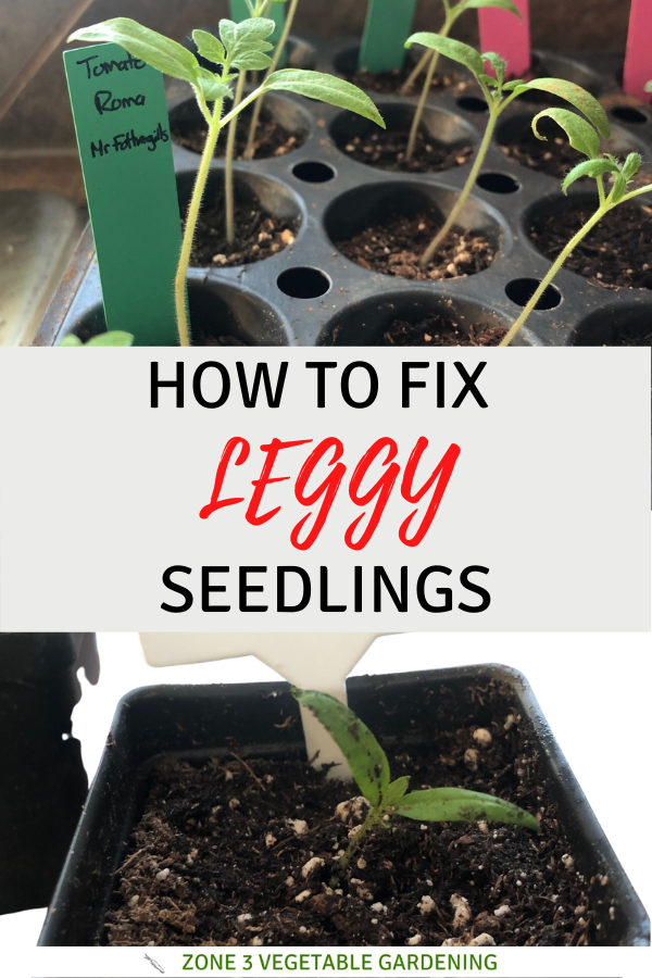 How to fix and prevent leggy seedlings by planting them deeper, adding grow lights, pinching them back, increasing plant spacing and replicating wind.
