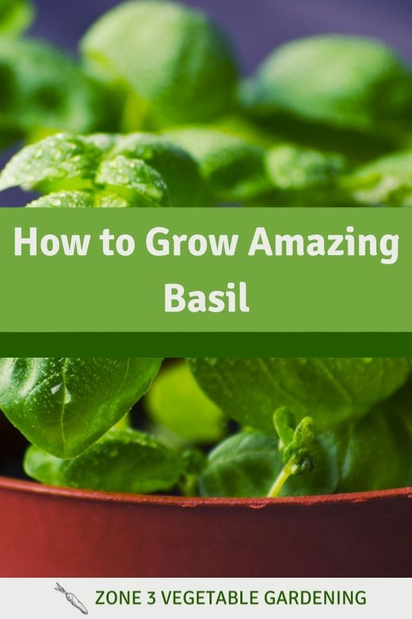 Learn how to plant basil in a pot indoors or outside as well as how to grow basil from cuttings and how to water basil.