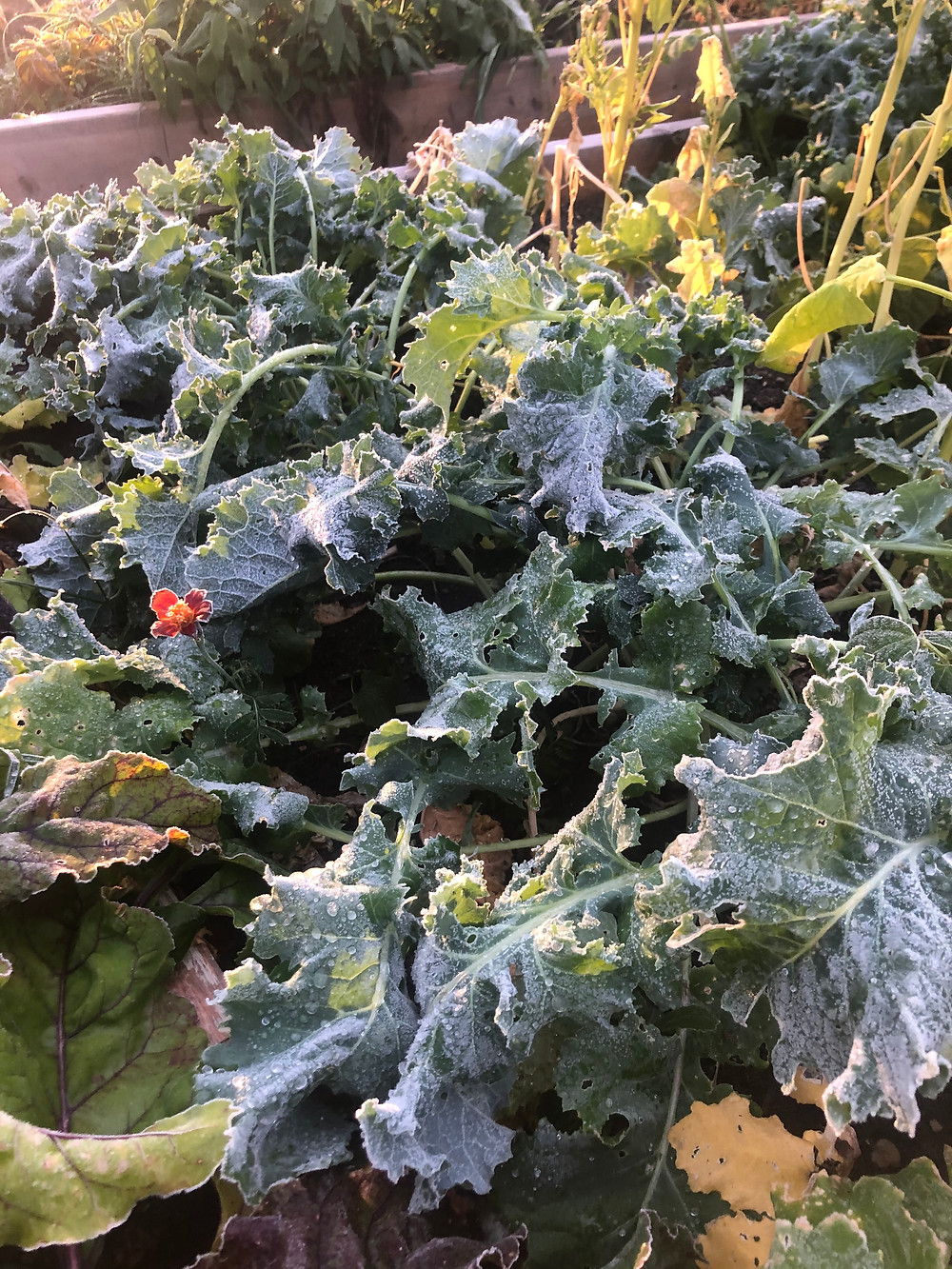 Protecting your garden from frost.  How to protect your plants from frost.  When should I cover my plants?  How should I cover my plants?  What plants need to be covered before it freezes in Canada.  How to protect my Alberta garden from frost.  Using blankets to protect plants from frost.