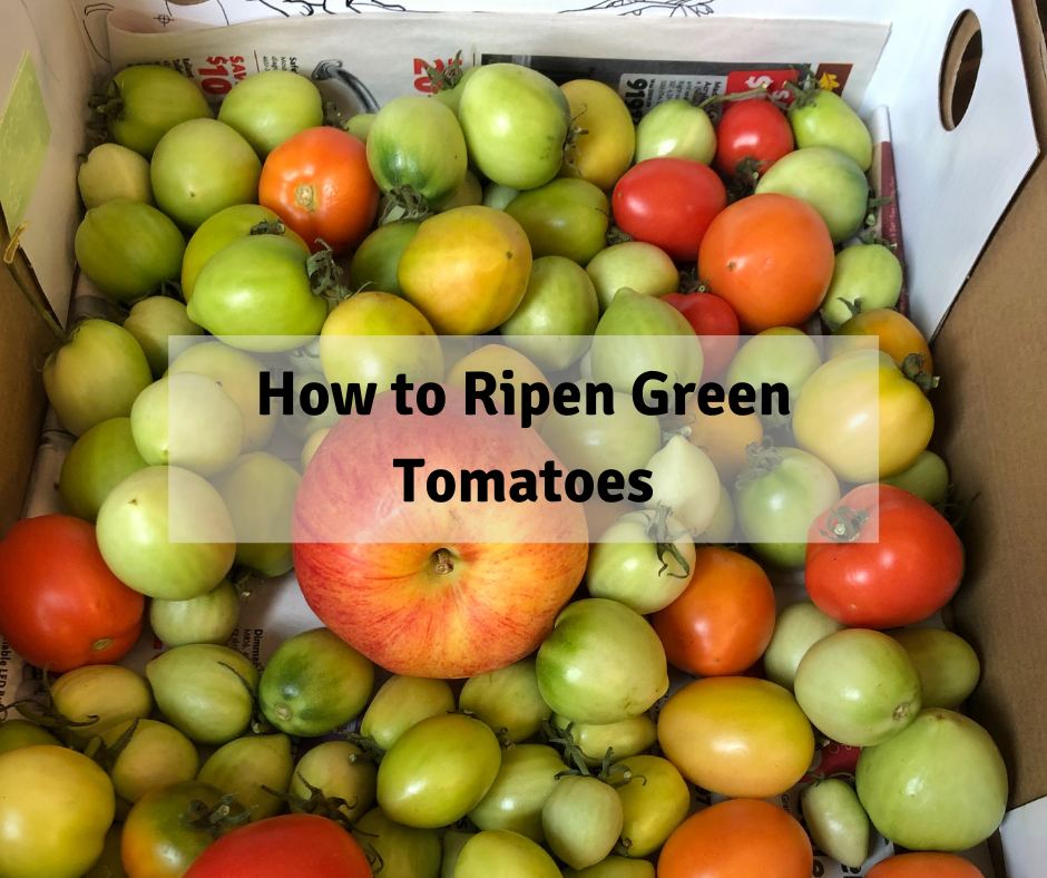 How to Ripen Green Tomatoes, Using ethylene to ripen tomatoes, ripening hormone. do tomatoes need sunlight to ripen?