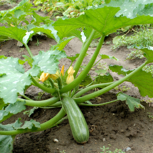 Zucchini is an easy vegetables to grow in Alberta, Canada in your backyard zone 3 garden.