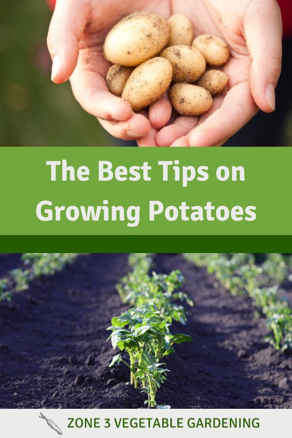 Determinate vs. Indeterminate garden potatoes grown in gardening zone 3 of Alberta, Canada.