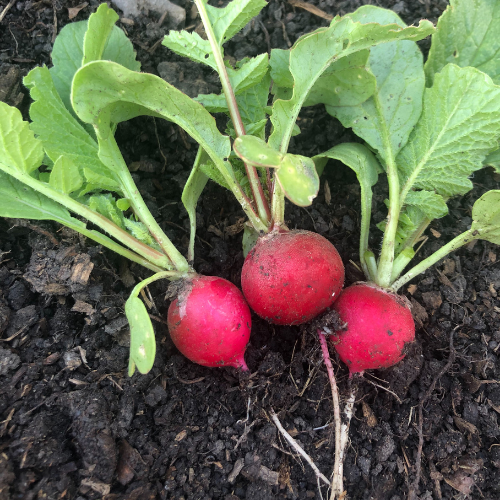 Radishes are an easy vegetables to grow in Alberta, Canada in your backyard zone 3 garden.