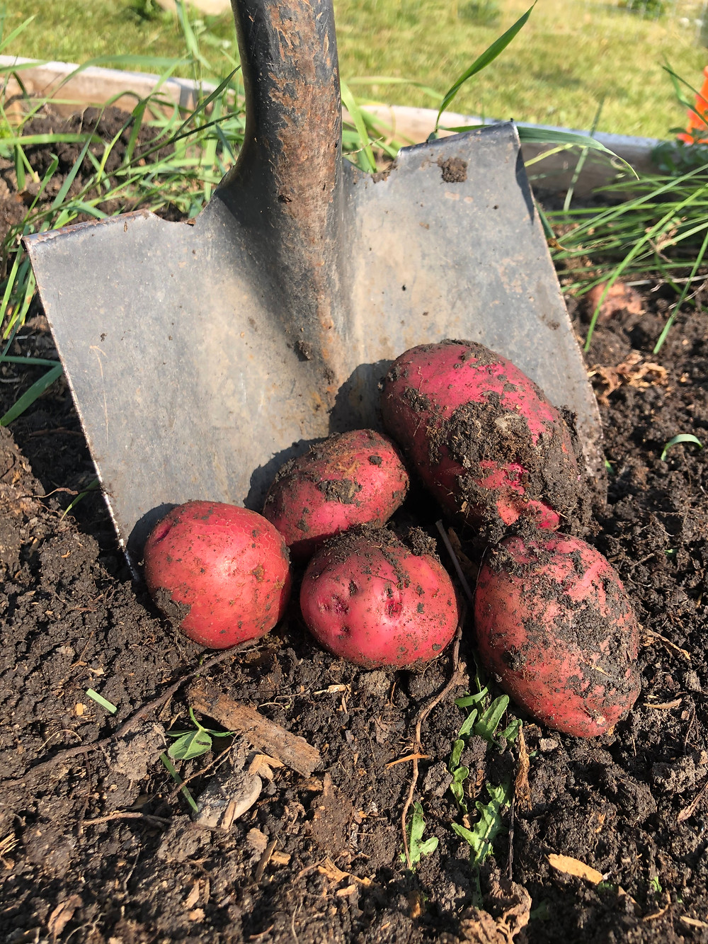 Determinate red pontiac garden potatoes being dug out of a raised bed in a backyard, vegetable garden in gardening zone 3 Alberta, Canada.