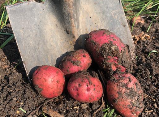 Growing Potatoes - Determinate vs. Indeterminate Varieties