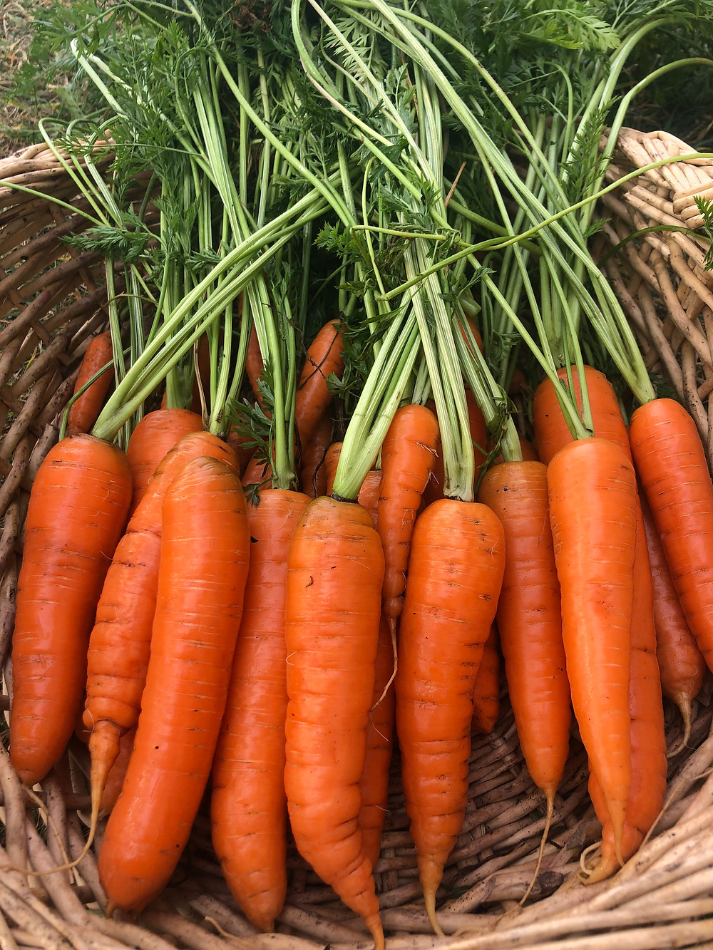 Bright orange fresh garden carrots in a basket, grown in a backyard, raised bed garden in growing zone 3 of Alberta, Canada.