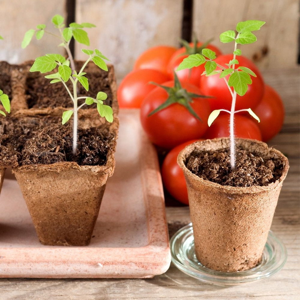 Growing tomatoes in gardening zone 2 - 4 of Calgary Alberta can be a challenge.  Find the top tips for growing large roma and cherry tomatoes from seed in a greenhouse, your vegetable garden or in a pot.
