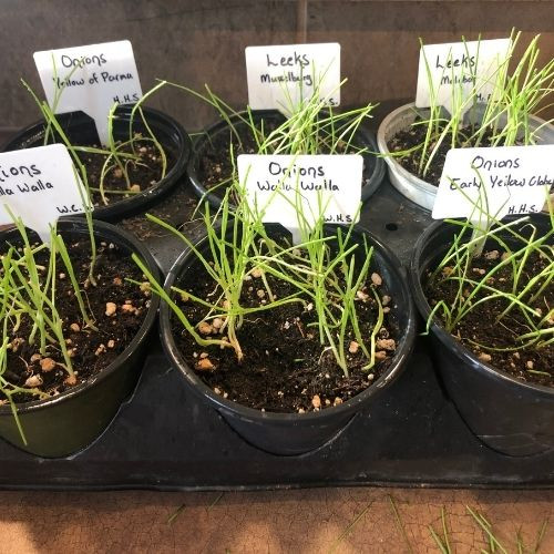 Find a list of long day onions to grow from seed or sets in your backyard vegetable garden in zone 3 Calgary, Alberta Canada.