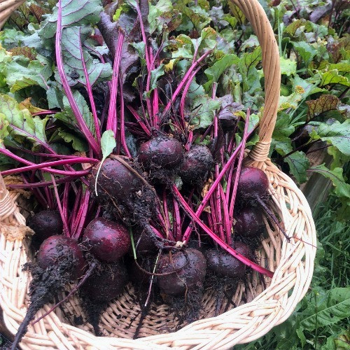Beets are an easy vegetables to grow in Alberta, Canada in your backyard zone 3 garden.