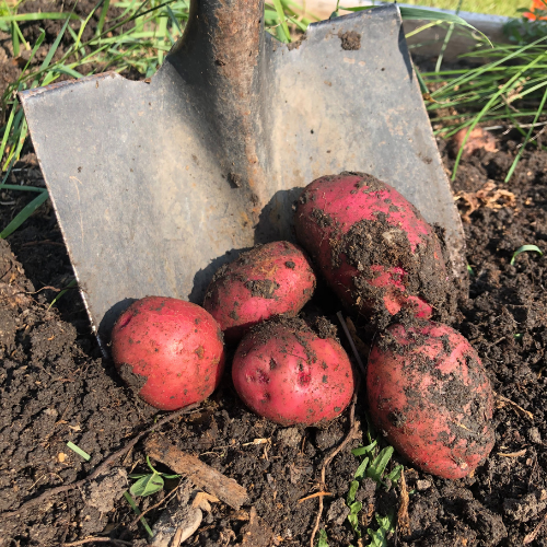 Potatoes are an easy vegetables to grow in Alberta, Canada in your backyard zone 3 garden.