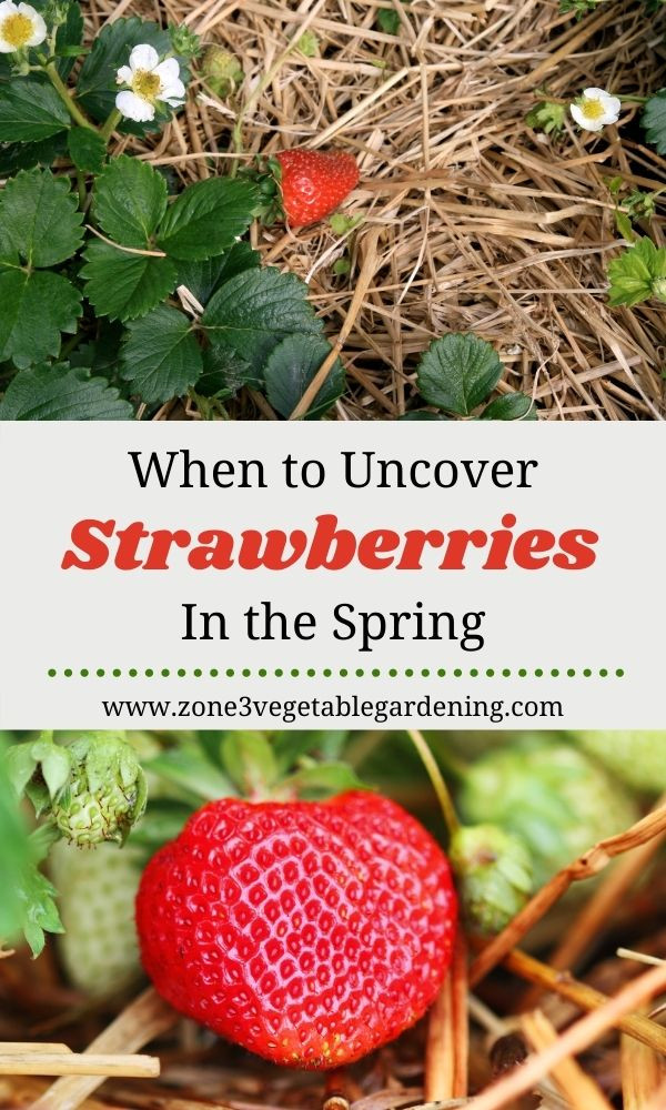 Find out when to uncover your strawberry plants in the spring in zone 3 Calgary Alberta, Canada.
