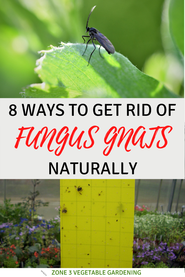 Natural ways to get rid of fungus gnats naturally including using hydrogen peroxide, neem oil and cinnamon to treat fungus gnats on your indoor plants.