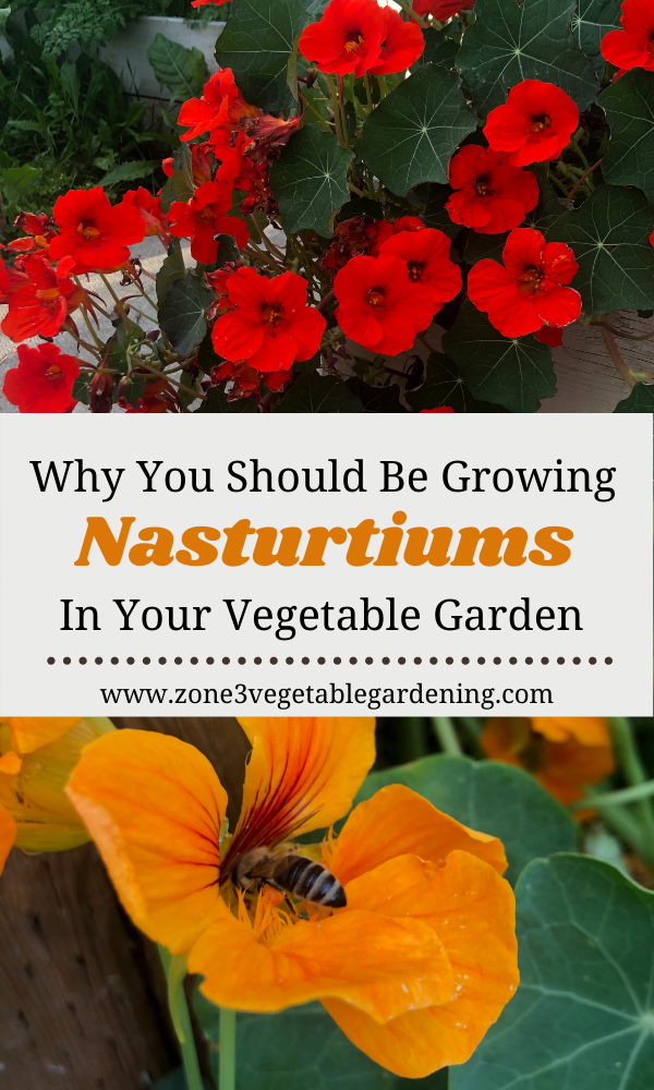 There are so many reasons why you should be growing nasturtiums in your vegetable garden.  Not only are nasturtiums stunning and attract pollinators but they are edible.