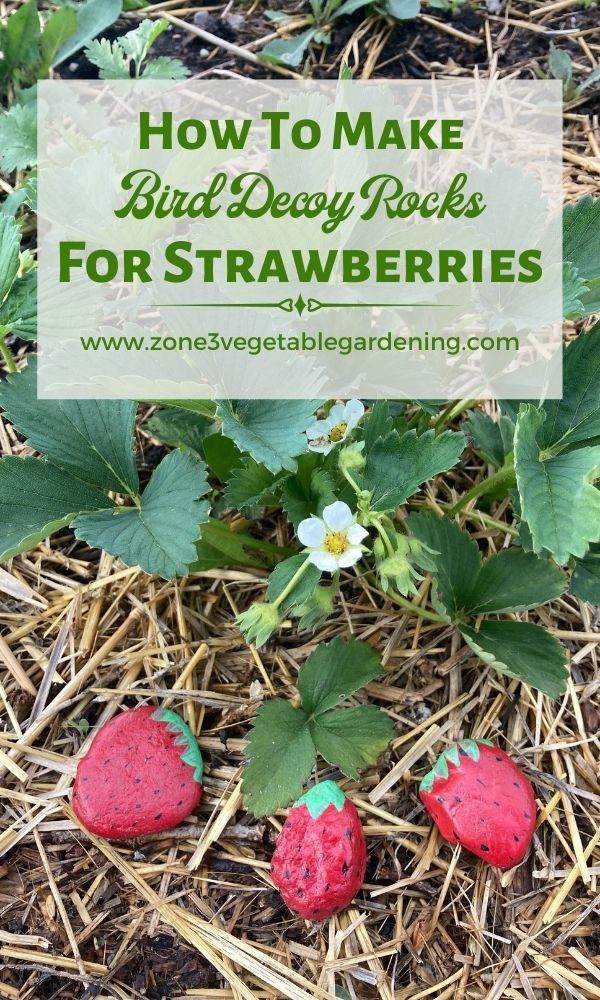 How to make DIY garden strawberry rock bird decoys for your strawberry plants.  Find out how to stop birds from eating your strawberries.