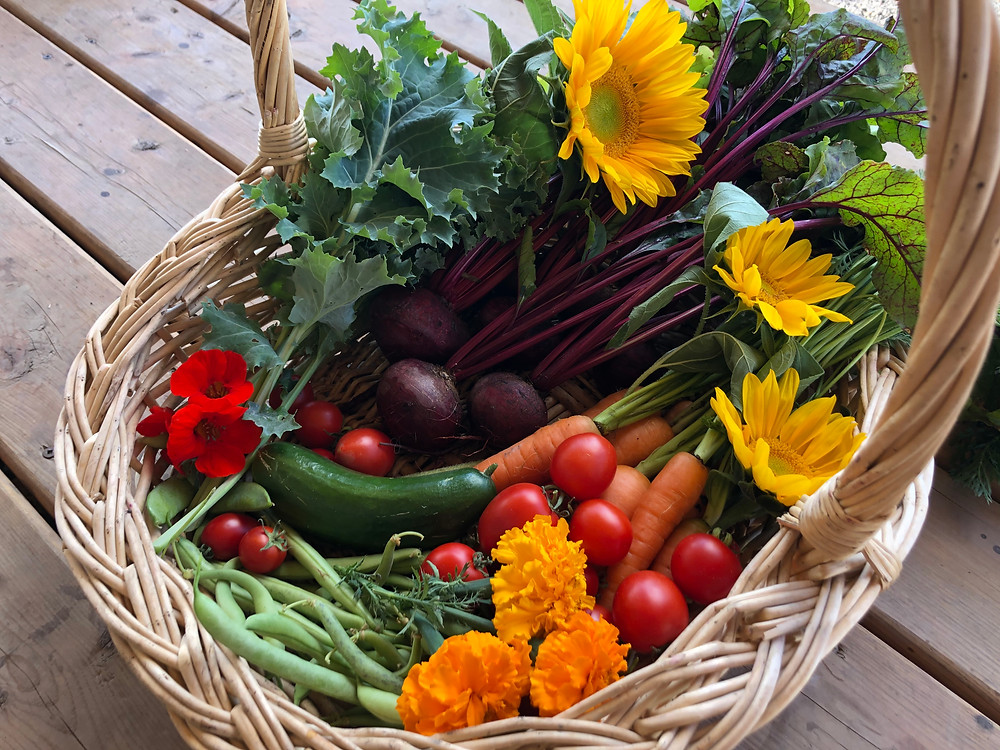 Harvest basket full of produce grown in a Canadian, zone 3, backyard vegetable garden.