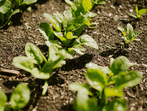 Tips for Growing Spinach