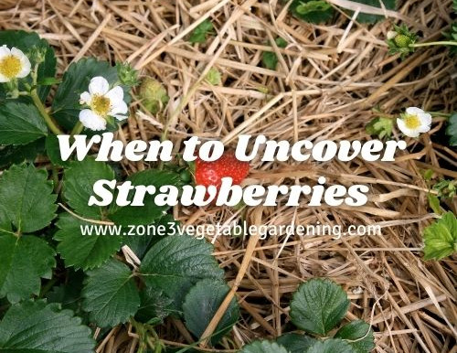 When to Uncover Strawberries