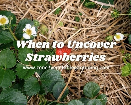 Find out when to uncover your strawberries in the spring in zone 3 Calgary Alberta, Canada.