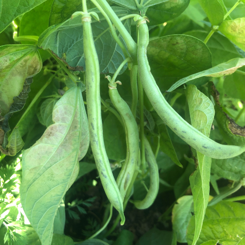 Beans are an easy vegetables to grow in Alberta, Canada in your backyard zone 3 garden.