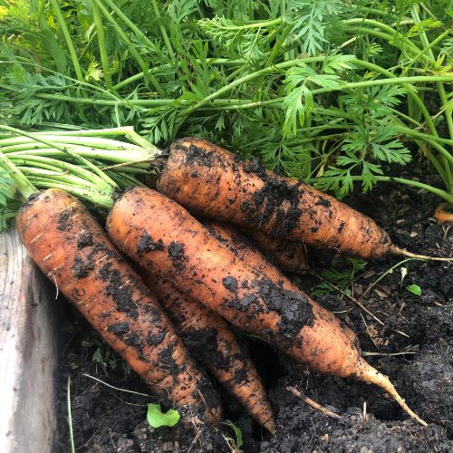 Carrots are an easy vegetables to grow in Alberta, Canada in your backyard zone 3 garden.