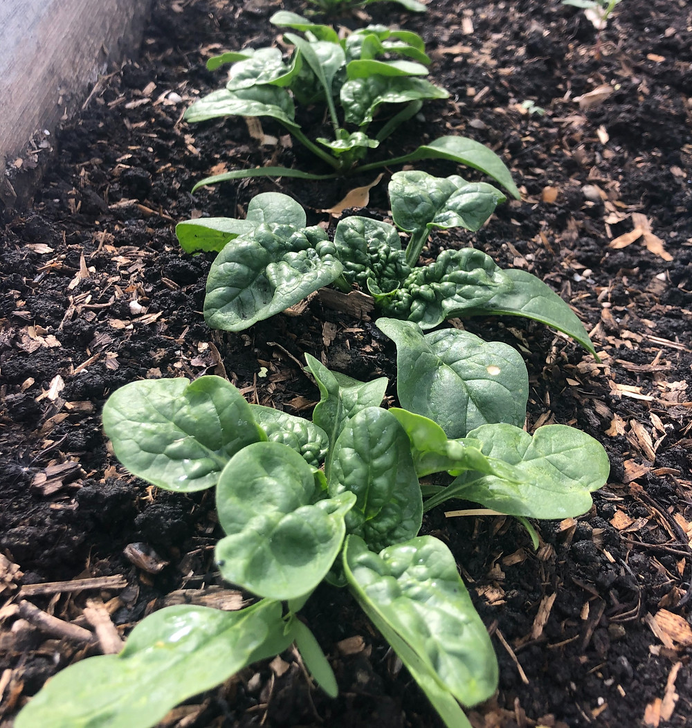 When growing spinach in zone 3 Alberta, Canada, consider seeding spinach in the fall as winter spinach that will come up in your vegetable garden early the next spring.