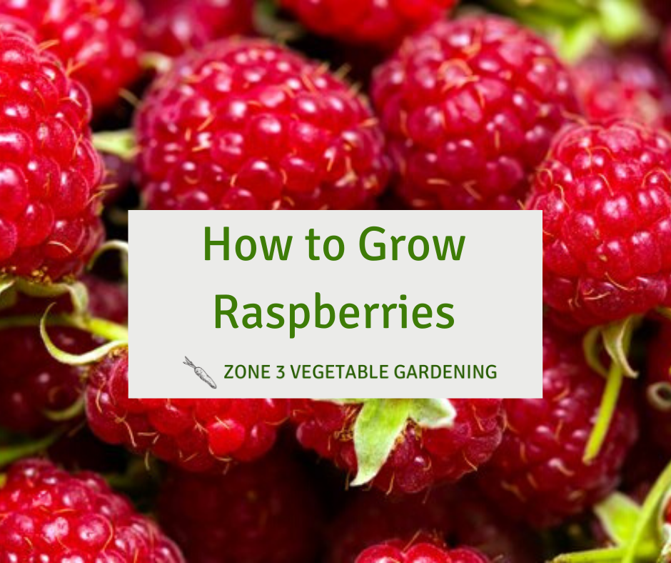 How to grow raspberries in zone 3 Alberta in your backyard garden.