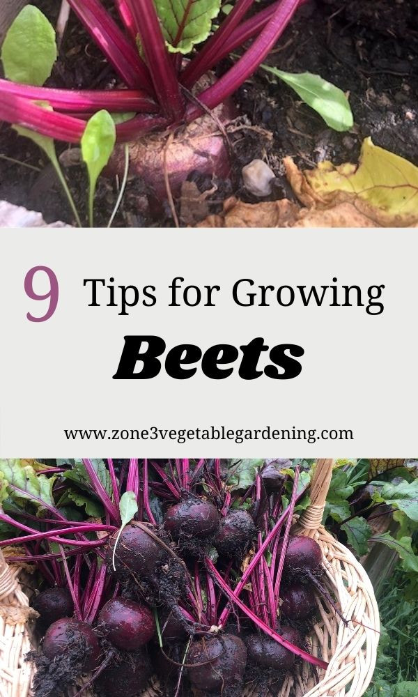 Tips for growing beets from seed for beginners in your raised bed or backyard vegetable garden.