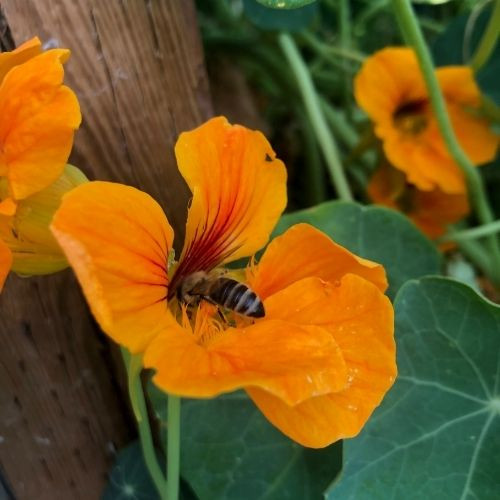 There are so many reasons why you should grow nasturtiums in your zone 3 Alberta vegetable garden!  Nasturtiums attract pollinators, deter pests and are edible!
