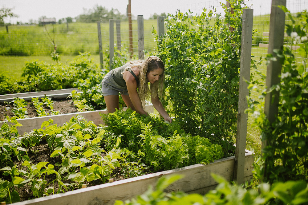 Alberta vegetable gardener planting and working in her backyard, zone 3 vegetable garden.