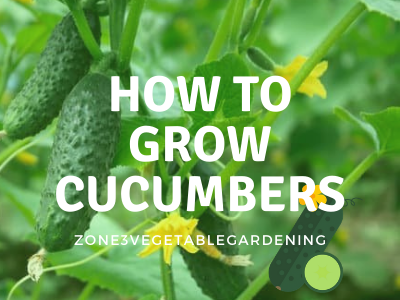 Tips for how to grow cucumbers from seed in zone 3 Calgary, Alberta weather you are growing cucumbers in pots, growing cucumbers in a greenhouse, growing cucumbers in raised beds or growing cucumbers in your in ground garden.