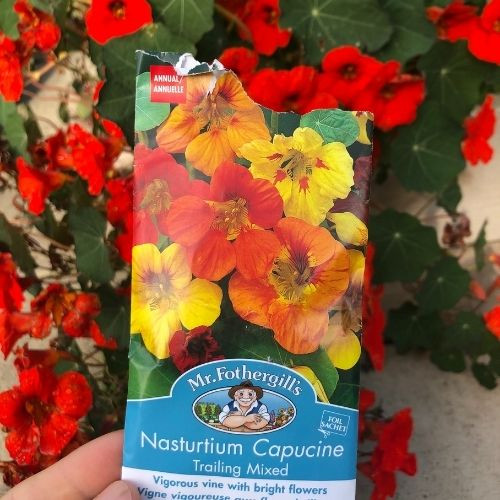 Nasturtium seeds.  There are so many reasons why you should grow nasturtiums in your zone 3 Alberta vegetable garden!  Nasturtiums attract pollinators, deter pests and are edible!