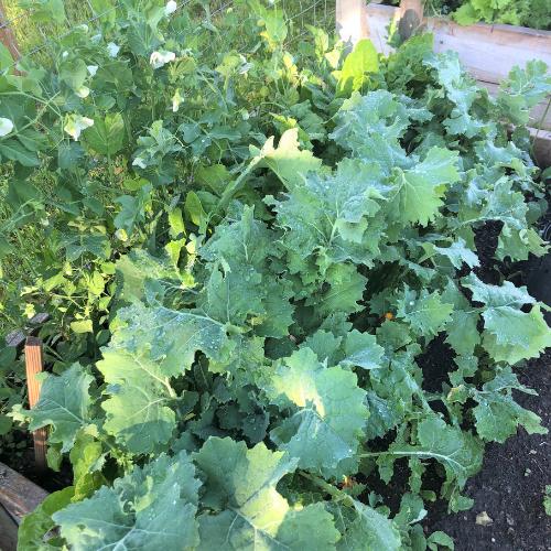 Kale is an easy vegetables to grow in Alberta, Canada in your backyard zone 3 garden.