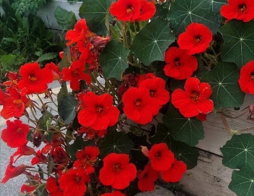 Why You Should Be Growing Nasturtiums In Your Vegetable Garden