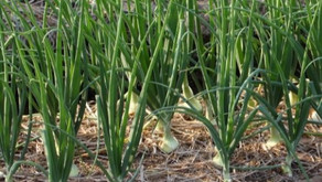 The Best Tips for Growing Onions in Canada