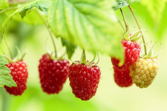 How to grow raspberries.  How to prune raspberries.  Raspberry varieties.  Cold hardy raspberries. Primocane vs floricane raspberries.  Where to plant raspberries.  How to harvest raspberries.  Growing raspberries.  Gardening. Vegetable Gardening.  Growing Fruit in Alberta.  Growing Fruit in Canada