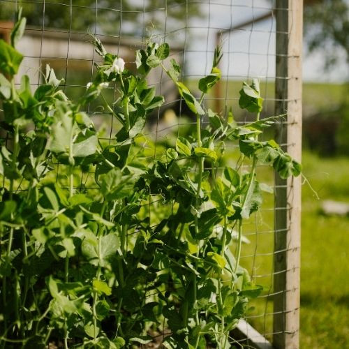Peas are an easy vegetables to grow in Alberta, Canada in your backyard zone 3 garden.