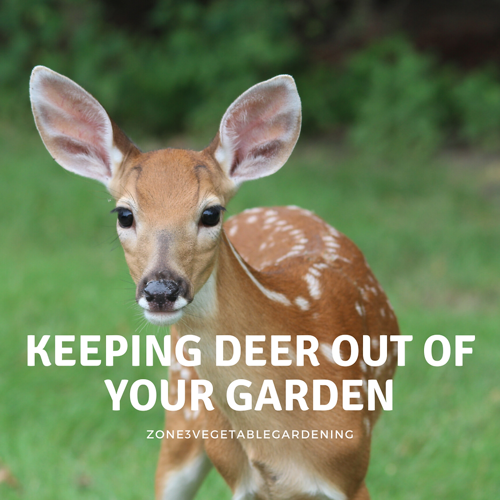 How to keep deer out of your garden.  How to build a deer fence for your garden.  Using motion activated sprinklers to keep deer out of your garden.