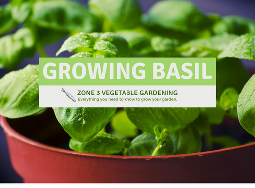 How to Grow Great Basil