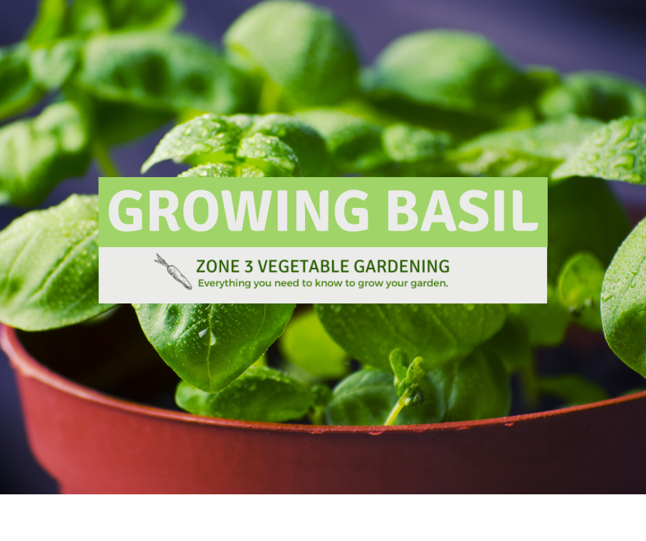 How to grow basil from seed in a pot indoors or outdoors all year long.