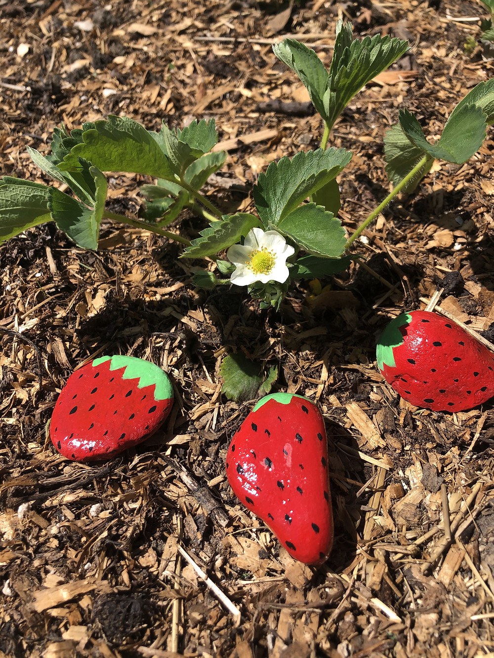 Rocks painted like strawberries placed beside a strawberry plant grown in zone 3, Alberta, Canada in a backyard vegetable garden.