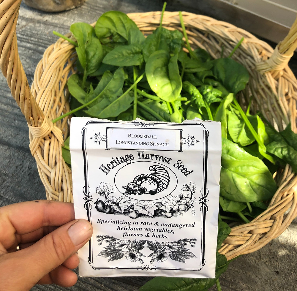 Spinach seeds that are slow to bolt in summer heat are great for growing spinach in gardening zone 3 Alberta during the summer months.