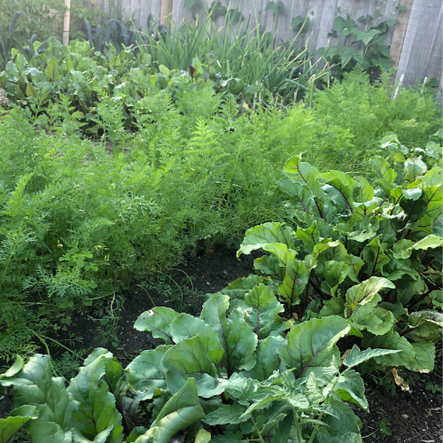 Backyard Alberta zone 3 vegetable garden with companion planting guide used to plant.