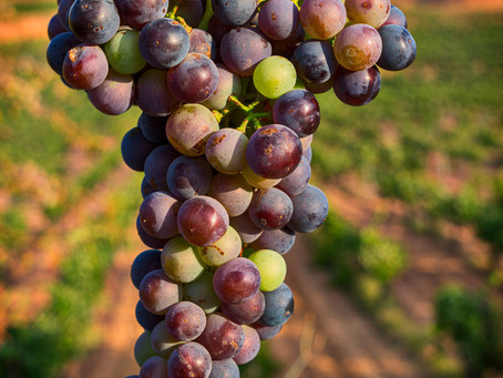 Get to know the Bobal grape