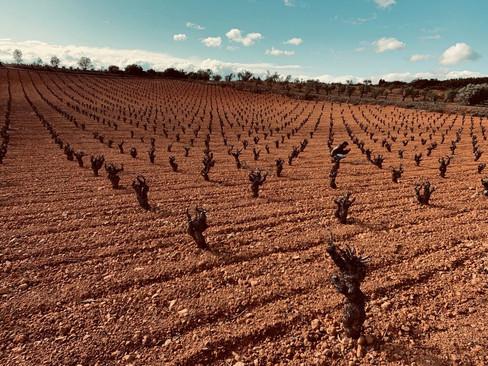 Old vines of Bobal