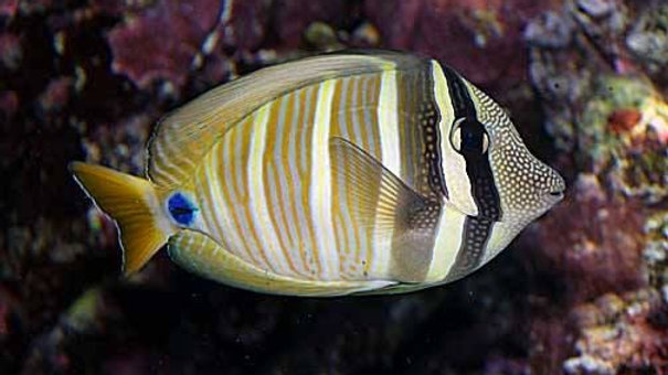 Pacific Sailfin Tang